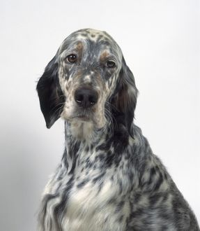 English Setter, close-up, front view
