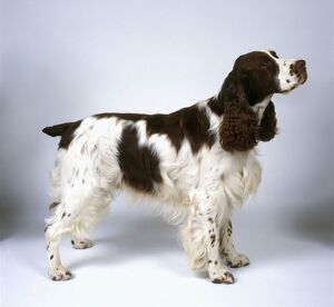 English Springer Spaniel, standing, side view