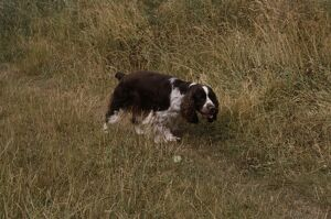 English Springer Spaniel walking through grass