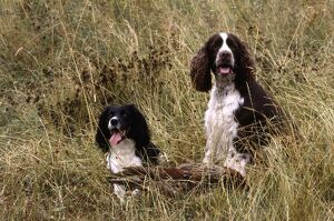 Two English Springer Spaniels with a dead bird