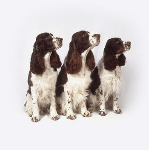 Three English Springer Spaniels looking up