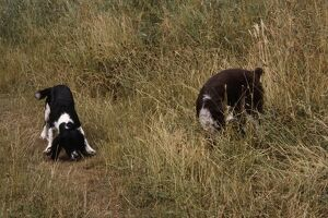 Two English Springer Spaniels sniffing around grass
