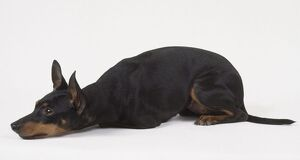 English toy terrier, black and tan, lying down, side view