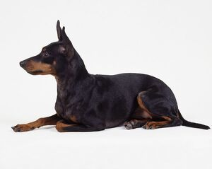 English toy terrier, black and tan, sitting, side view