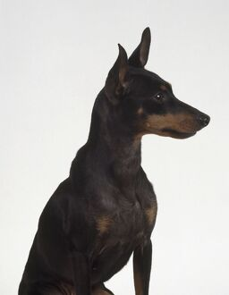 <b>English Toy Terrier (Black & Tan)</b><br>Selection of 10 items