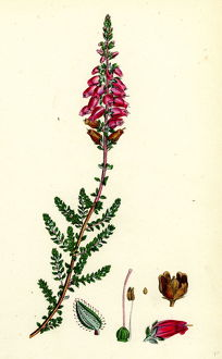 Erica ciliaris, Fringed-leaved Heath