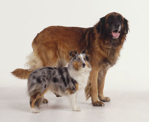 Estrela Mountain Dog and Rough Collie puppy (canis familiaris), side view.