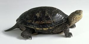 European pond turtle (Emys orbicularis), side view