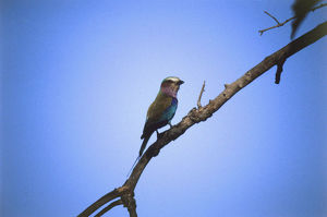 European Roller, Coracias garrulus, perching on treetop branch, partially silhouetted