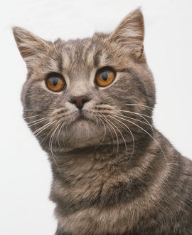 Face of a brown tabby Exotic Shorthair Cat (Felis catus)