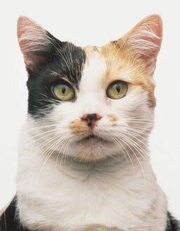 Face of a tortoiseshell and white Manx Cat (Felis catus)