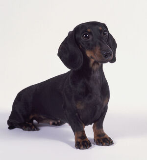 animals/black/female smooth haired miniature dachshund dog