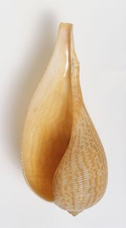 Ficus gracilis, underside view of Graceful Fig Shell, fragile large shell, long body