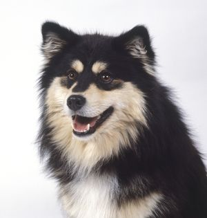 Finnish lapphund, close-up