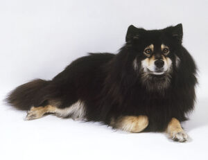 Finnish lapphund, lying down