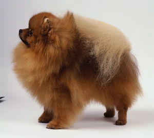 A fluffy golden-brown Pomeranian dog with its head and nose poking out from its abundant