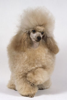 A fluffy goldern toy poodle with a thick neatly trimmed coat, with one paw raised.
