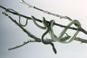 Flying snake (Chrysopelea sp.) coiled around the branches of a tree