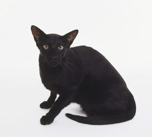 Foreign Black Oriental shorthaired cat with wedge-shaped head and large, pricked ears