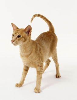 Foreign Red Oriental shorthaired cat with even red coloration and long, slender profile