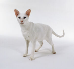 Foreign White Oriental shorthaired cat with pink nose and blue eyes, standing.