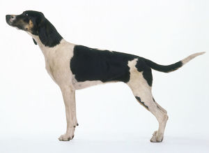 Foxhound: hound dog, standing