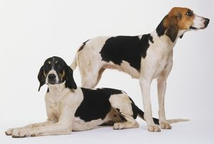 Two Foxhounds (Canis familiaris), one lying down, head upright, front legs stretched out to front