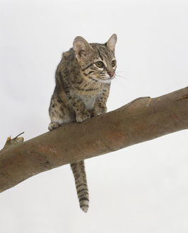 Geoffroy's Cat (Felis geoffroyi) perched on branch, low angle view.