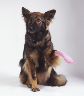 A German Shepherd Dog (Canis familiaris) raising its bandaged paw, front view