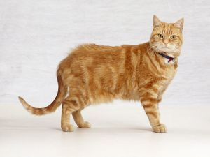 Ginger tabby cat, standing, looking at camera