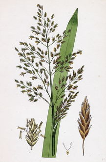 Glyceria aquatica, Reed Meadow-grass