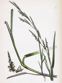 Glyceria eu-fluitans, Floating Meadow-grass