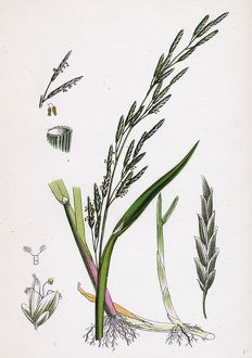 Glyceria plicata, Folded-leaved Meadow-grass