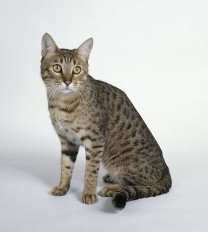 Gold California Spangled cat, sitting