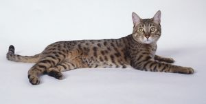 Gold California Spangled leopard-like cat with well-defined spots and long, muscular body