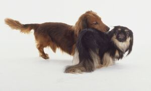 A golden red spaniel or long-haired dachshund stares over the back of a smaller Japanese