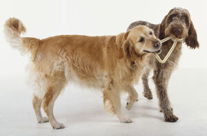A golden retriever and an Italian spinone wrestle together over a dog toy.