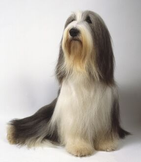 animals/pets/gray white bearded collie long silky coat brown
