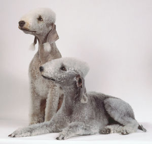 Two gray white Bedlington terriers, one sitting and the other lying down, with fluffy topknots and fringes of hair on the ends of their dangling ears