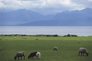 Great Britain, Scotland, Island of Bute, grazing sheep with sea and mountains in