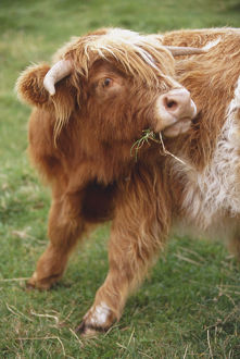 Great Britain, Scotland, Lowlands, Loch Lomond, Highland cow grazing on grass, front
