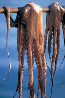 Greece. Lesbos Island. Sigri. Octopus