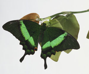 Green Blumei, Papilio blumei, a swallowtail butterfly perched on leaf, view from above.