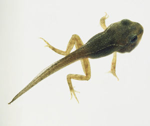 green tadpole with both front and back legs.