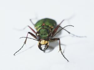 Green tiger beetle (Cicindela campestris), front view