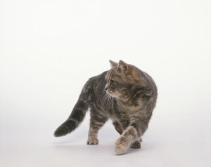 Grey-brown exotic shorthair tabby cat walking