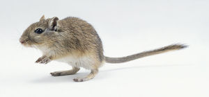 Grey-brown gerbil on hind legs, side view