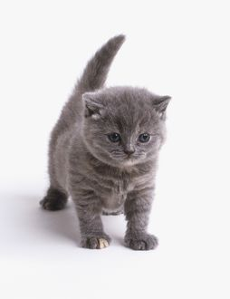Grey shorthair kitten (Felis catus) standing with its tail raised, front view