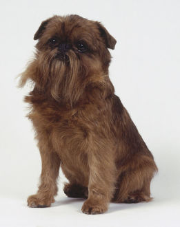 Griffon Bruxellois (Brussels Griffon) dog, seated