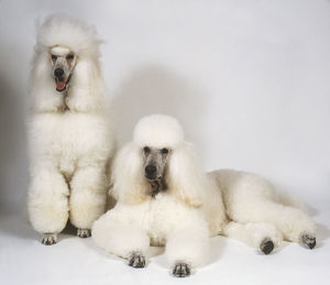 Two groomed, white Standard Poodles (Canis familiaris), front view
